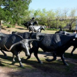 Cattle Drive Sculpture, Dallas